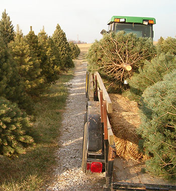 Fresh and live trees are a great Christmas Tradition at Memory Lane Tree Farm in Pleasant Ridge Farm located in Ranoul, Kansas.